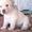 Щеночки  очаровательные лабрадоры #1305062