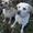Палевый щенок лабрадора #1310524