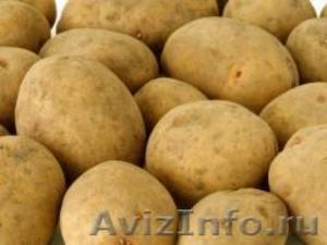 Семенной картофель из Беларуси в Брянске - Изображение #1, Объявление #1496691