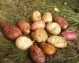 Картофель продовольственный 2011