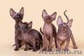 Котята,  кошечки,  коты - редкой красоты!